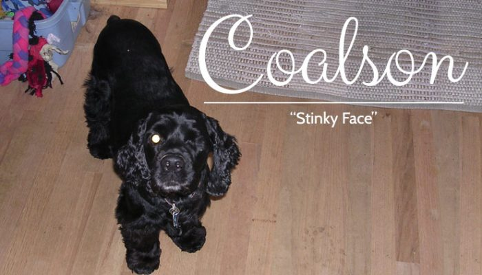 Coalson - Black Rescued Cocker Spaniel