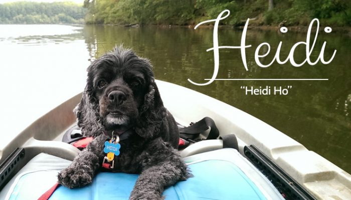 Heidi - Blue Rhone Rescued Cocker Spaniel