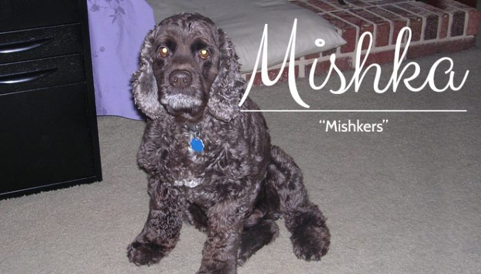 Mishka - Chocolate Cocker Spaniel