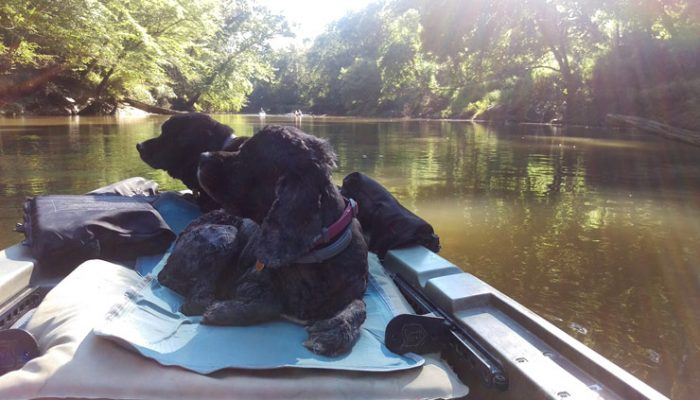 2 Cocker Spaniels On An Ascend Kayak Going Down The Neuse River